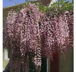 Wisteria floribunda ´Rosea´ / Vistárie květnatá , 50-60 cm, C2
