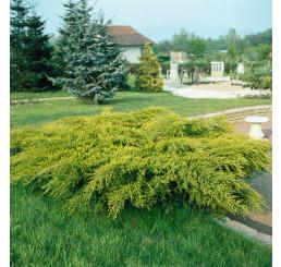 Juniperus chinensis ´Old Gold ´ / Jalovec čínský, 10-15 cm, K9