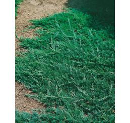 Juniperus horizontalis ´Wiltonii´ / Jalovec polehlý, 25-30 cm, C1,5