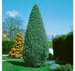 Cupressus arizonica ´Glauca´/ Cypřiš arizonský , 60-80 cm, KB