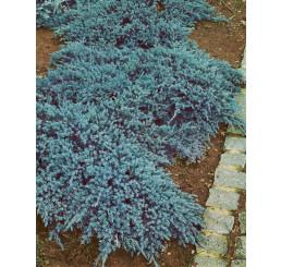 Juniperus sq. 'Blue Carpet' / Jalovec šupinatý ´Modrý koberec´, 15-20 cm, K9