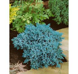 Juniperus squamata 'Blue Star' / Jalovec šupinatý, 12-15 cm, C2