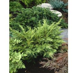 Juniperus chinensis ´Mordigan Aurea´ / Jalovec čínský, 20-30 cm, C1,5