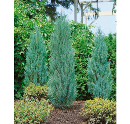 Juniperus scopulorum ´Blue Arrow´ / Jalovec skalní 'raketa', 50-60 cm, KB