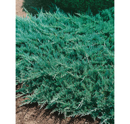 Juniperus horizontalis ´Blue Chip´ / Jalovec polehlý, 20 - 30 cm, C2