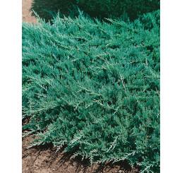 Juniperus horizontalis ´Blue Chip´ / Jalovec polehlý, 15-20 cm, K9