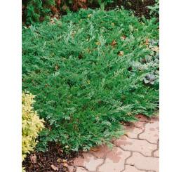 Juniperus horizontalis ´Prince of Wales´ / Jalovec polehlý, 20 - 25 cm, C2