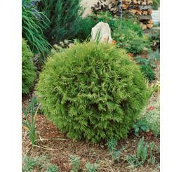 Thuja occidentalis 'Danica' / Zerav západní kulovitá, 20-25 cm, C2
