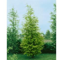 Metasequoia glyptostroboides / Metasekvoje čínská, 30-40 cm, K13