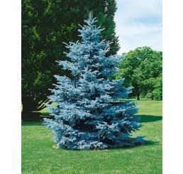 Picea pungens ´Hoopsii´ / Smrk pichlavý, 100-120 cm, KB AKCE