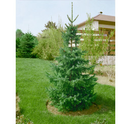 Picea omorika / Smrk omorika, 15-20 cm, C1,5