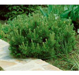 Pinus mugo ´Pumilio´ / Borovice kleč, 20-25 cm, C2