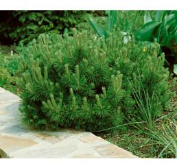 Pinus mugo ´Pumilio´ / Borovice kleč, 30-35 cm, C2