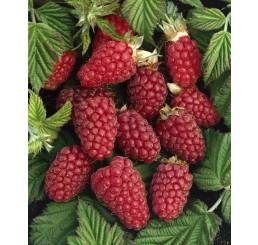 Rubus fruticosus ´Tayberry´ / Malinoostružina, K9