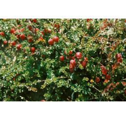 Vaccinium vitis-idaea ´Runo Bielawskie´/ Brusnice brusinka, 10-15 cm, K9