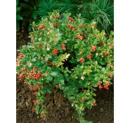 Vaccinium vitis-idaea ´Koralle´ / Brusinka pravá, 15-20 cm, K11