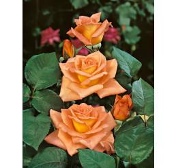 Rosa ´Ambassador´ / Růže čajohybrid oranžová, keř, BK