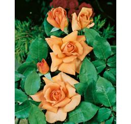 Rosa ´Beauty´ / Růže čajohybrid, keř, BK