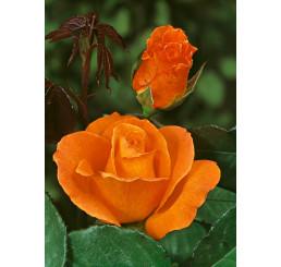 Rosa ´Doris Tystermann´ / Růže čajohybrid, keř, BK