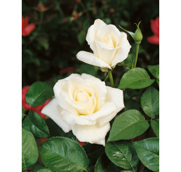 Rosa ´Mount Shasta´ / Růže čajohybrid, STROMEK 120 cm, BK