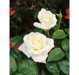 Rosa ´Mount Shasta´ / Růže čajohybrid, keř, BK