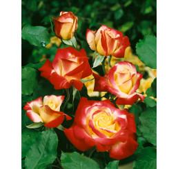 Rosa ´Double Delight´ / Růže čajohybrid, keř, BK