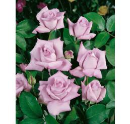 Rosa ´Sissi´ / Růže čajohybrid, keř, BK