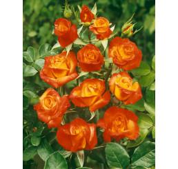 Rosa ´Rumba´ / Růže mnohokvětá červenožlutá, keř, BK