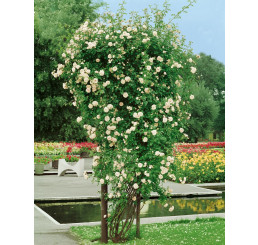 Rosa ´Ilse Krohn Superior´ / Růže popínavá bílá, keř, BK