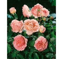Rosa ´Abraham Derby´ / Růže čajohybrid, keř, BK