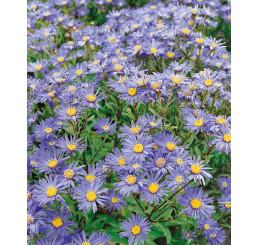 Aster amellus ´Rudolf Goethe´ / Hvězdnice chlumní modrá / Astra, K9