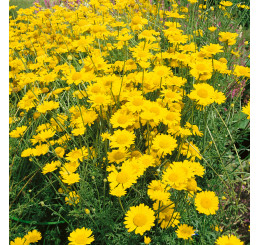Anthemis tinctoria ´Kelwayi´ / Rmen barvířský citrónově žlutý, C1