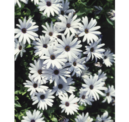 Osteospermum ´White Impassion´® / Osteospermum bílé, bal. 6 ks, 6x K7