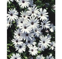 Osteospermum ´White Impassion´® / Osteospermum bílé, bal. 6 ks sadbovačů