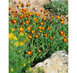 Hieracium aurantiacum / Jestřábník oranžový, K9