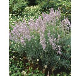 Lavandula angustifolia ´Rosea´ / Levandule úzkolistá, K9