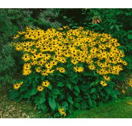 Rudbeckia fulgida ´Goldsturm´ / Třapatka zářivá, C1,5