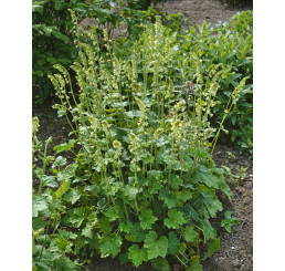 Tellima grandiflora / Mitrovka velkokvětá, K9