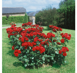 Rosa ´Limar´ / Růže mnohokvětá tmavě červená, keř, BK