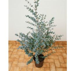 Eucalyptus gunnii / Blahovičník Gunnův / Eukalyptus voňavý, 40-60 cm, C2
