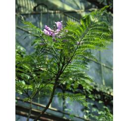 Jacaranda mimosifolia / Žakaranda, bal. 15 s