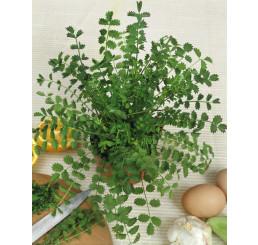 Pimpinella anisum / Anýz, bal. 2,5 g