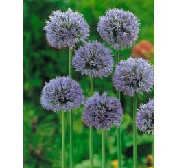Allium caeruleum / Česnek modrý, bal. 10 ks, 4/+