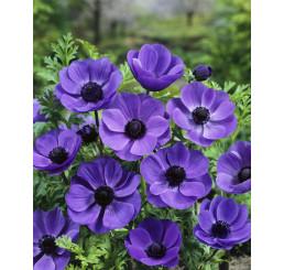 Anemone ´Mr. Fokker´ / Sasanky jednod. modré, bal. 15 ks, 7/8