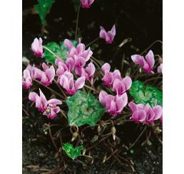Cyclamen neapolitanum / Cyklamen, 13/15