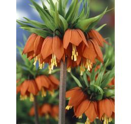 Fritillaria imperialis ´Rubra´ / Řebčík královský červený, 24/+