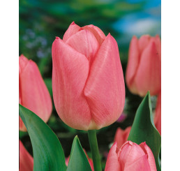 Tulipa ´Christmas Dream´ / Tulipán, bal. 5 ks, 11/12