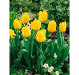Tulipa ´Monte Carlo´ / Tulipán, bal. 5 ks, 11/12