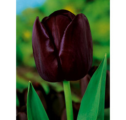 Tulipa ´Queen of Night´ / Tulipán ´Královna noci´, bal. 5 ks, 11/12