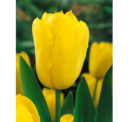 Tulipa ´Golden Melody´ / Tulipán, bal. 5 ks, 11/12